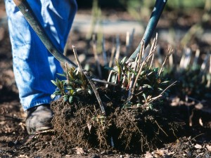 Dividing perennials with forks
